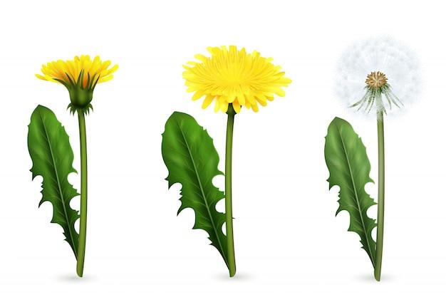 Satz realistische bilder des gelben und weißen löwenzahns blüht mit blättern in den verschiedenen stadien des blühens lokalisiert