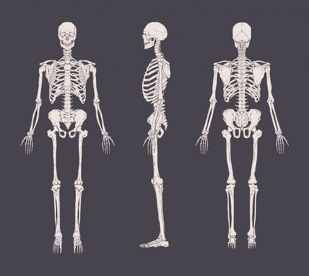 Satz realistischer skelette isoliert. vorder-, seiten- und rückansicht. konzept der anatomie des menschlichen skelettsystems.