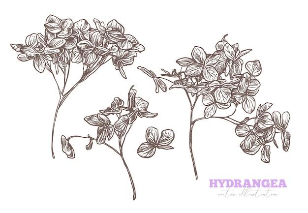 Satz skizze hand gezeichnete hortensie. skizze blumenhortensienillustration. botanische radierung