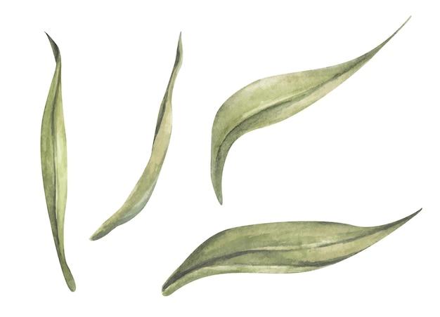 Satz tulpenblatt. botanische blumenblume. aquarell floral botanische illustration.