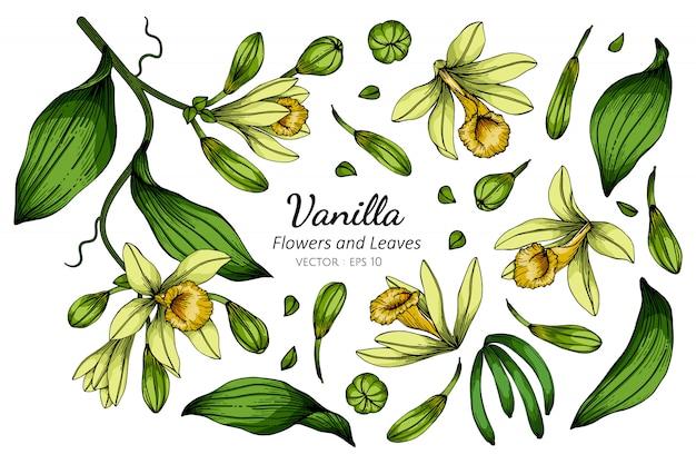 Satz vanilleblumen- und blattzeichnungsillustration