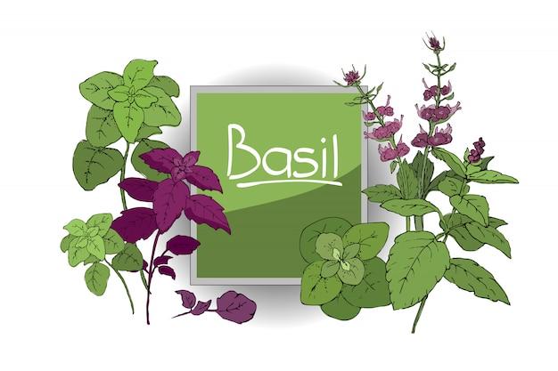 Satz von basilikum. grüner und purpurroter zimtbasilikum und italienischer basilikum mit blättern und blumen.