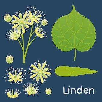 Satz von vektorelementen der lindenpflanze. blätter, blüten und lindenknospen.