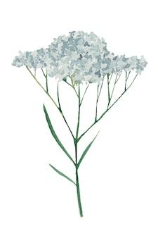Schafgarbe-wildblumenaquarellillustration auf weißem hintergrund