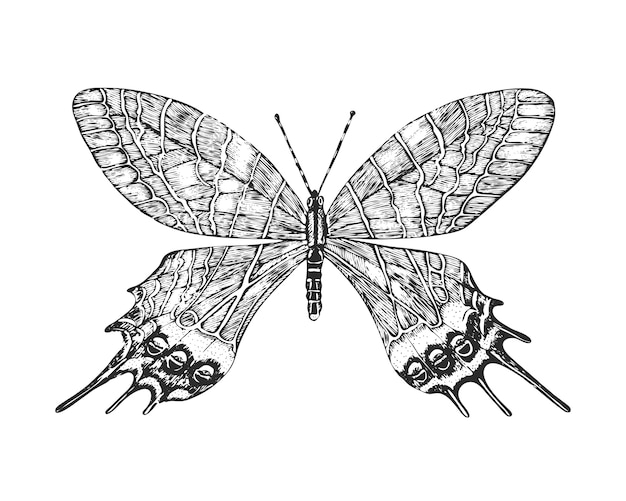 Schmetterling oder wilde motten insekten. bhutanitis lidderdalii oder bhutan ruhm.