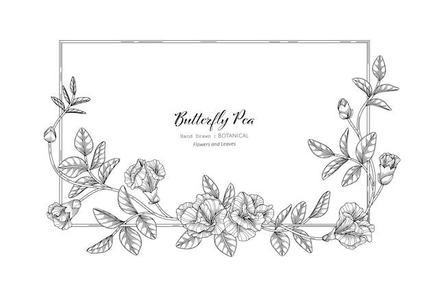 Schmetterlingserbsenblume und -blatt handgezeichnete botanische illustration mit strichzeichnungen.