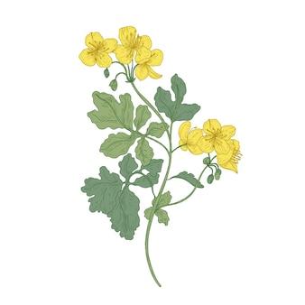 Schöllkraut oder nippelkraut blüten isoliert
