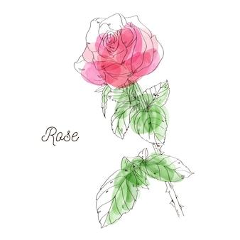 Schöne rosarosenillustration auf weißem hintergrund