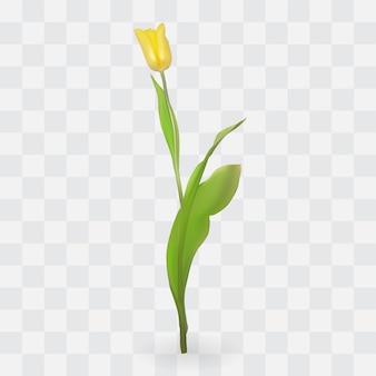 Schöne tulpen auf transparentem hintergrund. illustration.