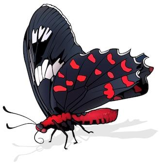 Schöner schwarzroter schmetterling atrophaneura kotzebuea