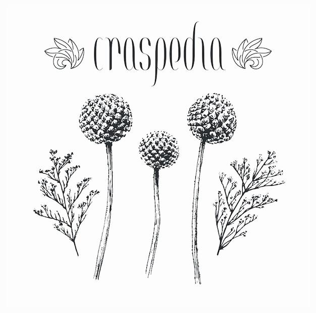 Schwarze isolierte dekorative craspedia globosa blumen, knospen, hand gezeichnet von tintenlimoniumpflanzen.