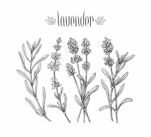 Schwarze isolierte lavendelzweige, handgezeichnete blätter und blüten der pflanze.