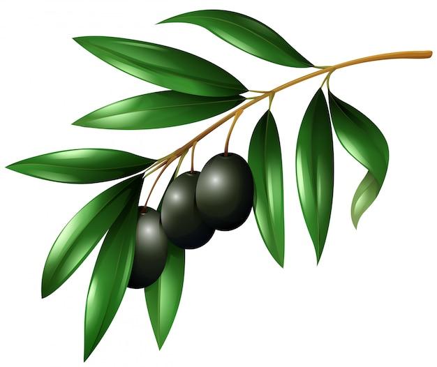 Schwarze oliven am zweig