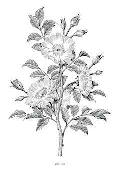 Schwarzer weinleseweiß der wilden rosenhand lokalisiert auf weißem hintergrund