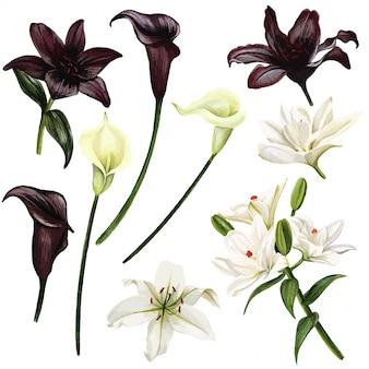 Schwarzweiss-lilien und callas, gezeichnete illustration der aquarellhand
