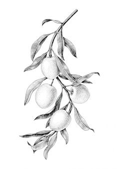 Schwarzweiss-weinleseisolat der olivenzweigillustration auf weißem hintergrund