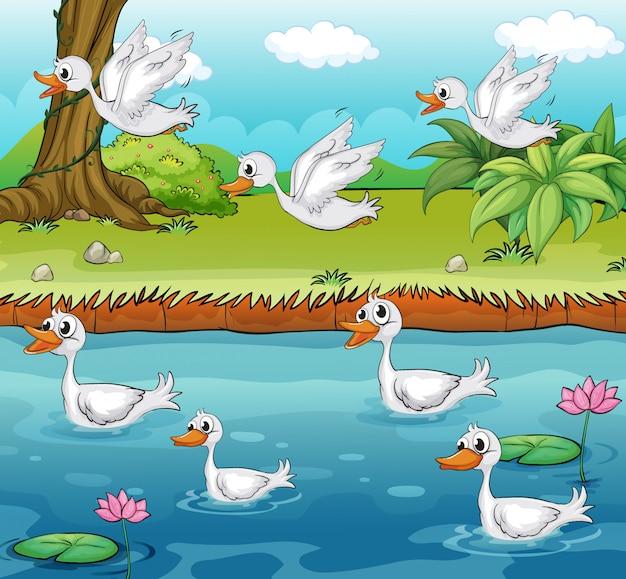 Schwimmen und fliegende enten