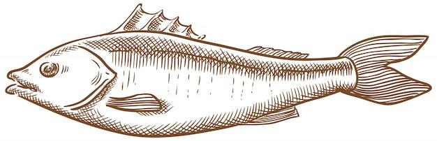 Seebarschfischvektor-skizzenhandzeichnung