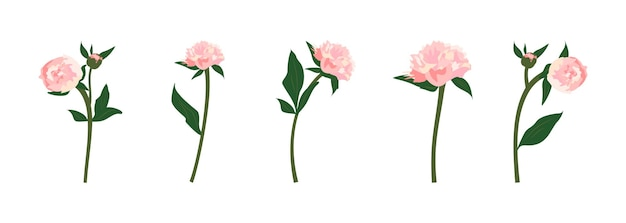 Set aus zarten rosa frühlings- und sommerpfingstrosen mit stielen, blättern und knospen. dekoration für karten, hochzeiten, feiertage und andere designs. flache vektorgrafik