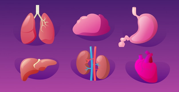 Set menschliche innere organe anatomische magen leber nieren lunge herz gehirn ikonen sammlung anatomie gesundheitswesen medizinisches konzept horizontal