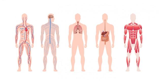 Set menschliche körper innere organe system kreislauf nervenmuskelstruktur anatomie physiologie vorderansicht in voller länge horizontal