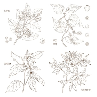 Set von duftenden paprika. piment, paprika, schwarz und cayenne. gezeichnete illustration des weinlesebotanik-vektors hand lokalisiert. skizzenstil. küchenkräuter und gewürze.