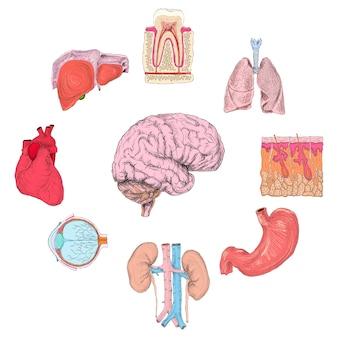 Set von menschlichen organen