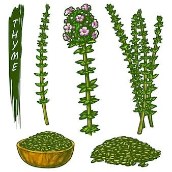 Set von thymian-pflanzensymbolen vektorskizze