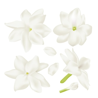 Set weiße jasminblüte