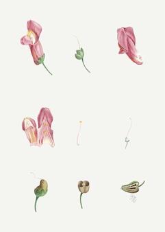 Sezierte drachenblume