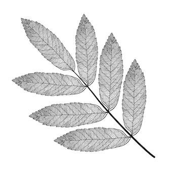 Skelettiertes ebereschenblatt auf weißem grund