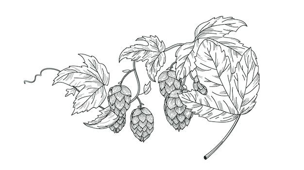 Skizze der hopfenpflanze, hopfenzweig mit blättern und hopfenzapfen im gravurstil. hopfenvektor isolierte zusammensetzung.