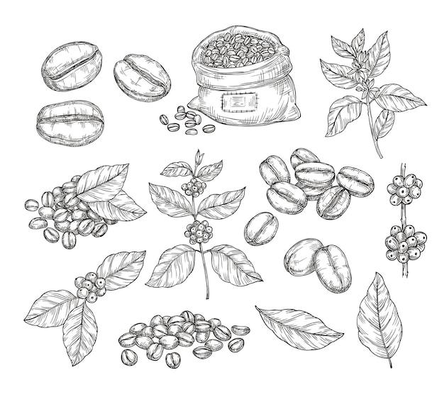 Skizze der kaffeepflanzen. vintage schwarze bohnen, leckere arabica robusta körner. isolierte handgezeichnete zweige und blätter, café-cafeteria-vektorelemente. skizze zeichnung blatt gravur koffein illustration