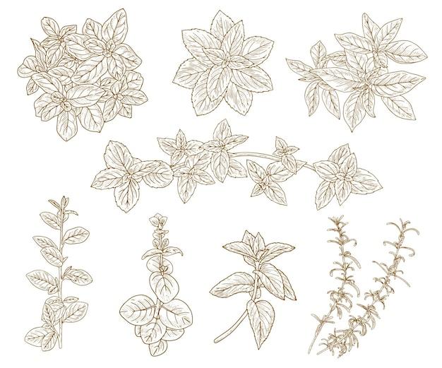 Skizze kräuter gesetzt. kräuter- und gewürzskizzensatz