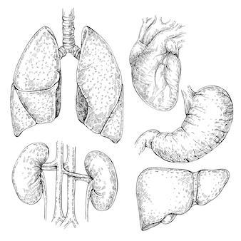 Skizze set verschiedener menschlicher organe: herz, nieren, magen, leber, lunge. isolierter satz innerer organe