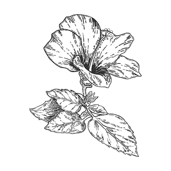 Skizze und hand, die hibiskusblume zeichnen. linie kunst-vektor-illustration.