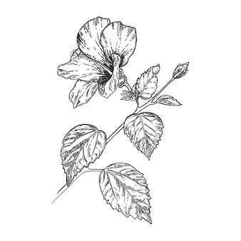 Skizze und hand, die hibiskusblume zeichnen