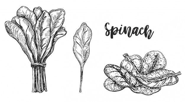 Skizze von spinat. auf weißem hintergrund. hand gezeichnete illustration.