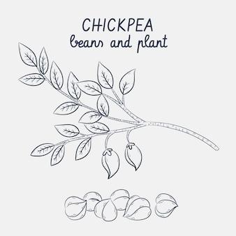 Skizzen von kichererbsenbohnen und pflanzen