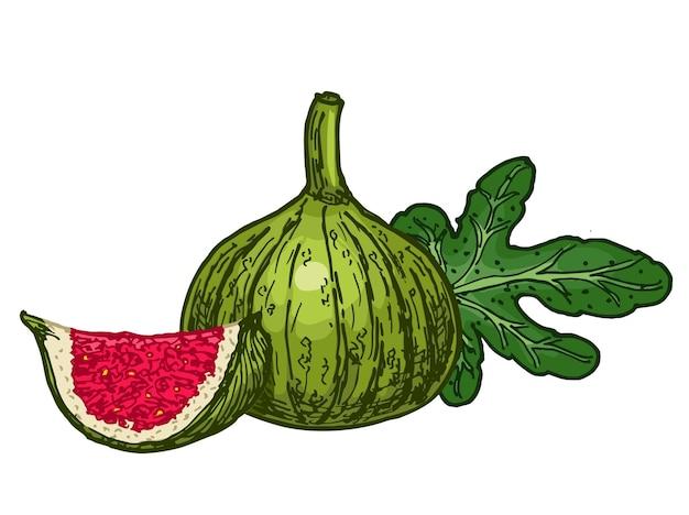 Skizzenstil der weißen feigenfruchttinte