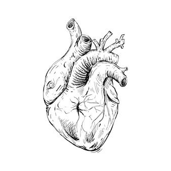 Skizzieren sie anatomische menschliche herzillustration Premium Vektoren