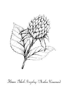 Skizzieren sie köstliche frische koreanische schwarze himbeeren oder rubus coreanus-früchte mit grünen blättern