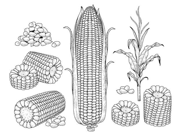 Skizzieren sie reifen mais dekoratives set handgezeichnete botanische illustrationen elemente retro-stil