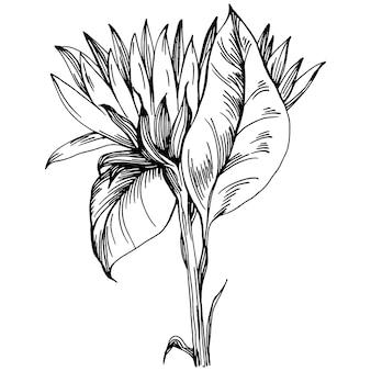 Sonnenblume blume. botanische blumenblume. isoliertes abbildungselement. vektorhandzeichnung wildblumen für hintergrund, textur, wrapper-muster, rahmen oder rahmen. Premium Vektoren