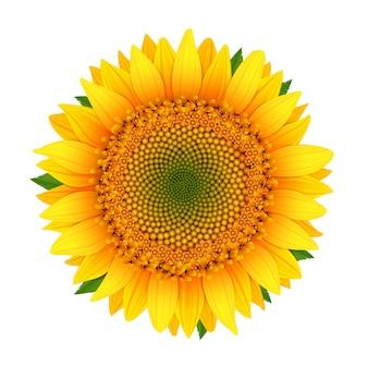 Sonnenblume getrennt auf weiß