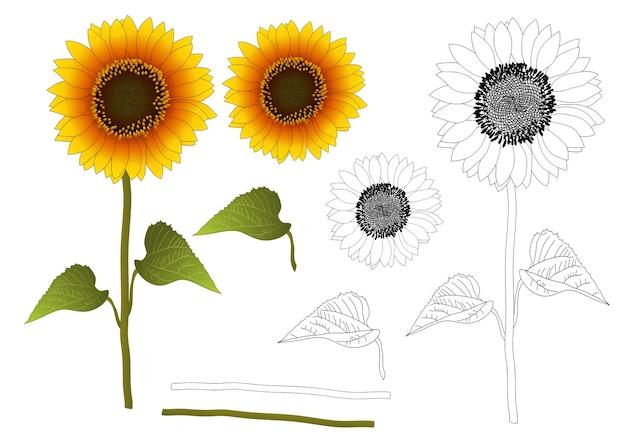 Sonnenblume gliederung