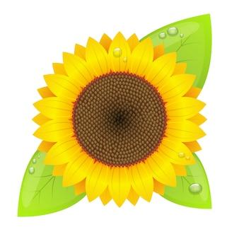 Sonnenblume lokalisiert auf weißem hintergrund