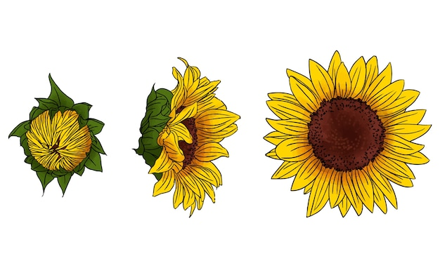 Sonnenblumen-illustrationsset