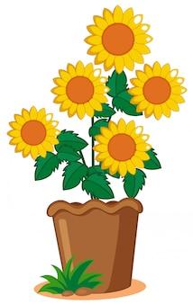 Sonnenblumenanlage im topf