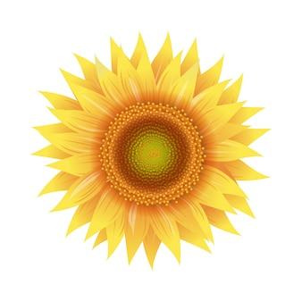 Sonnenblumenblumen lokalisiertes weiß